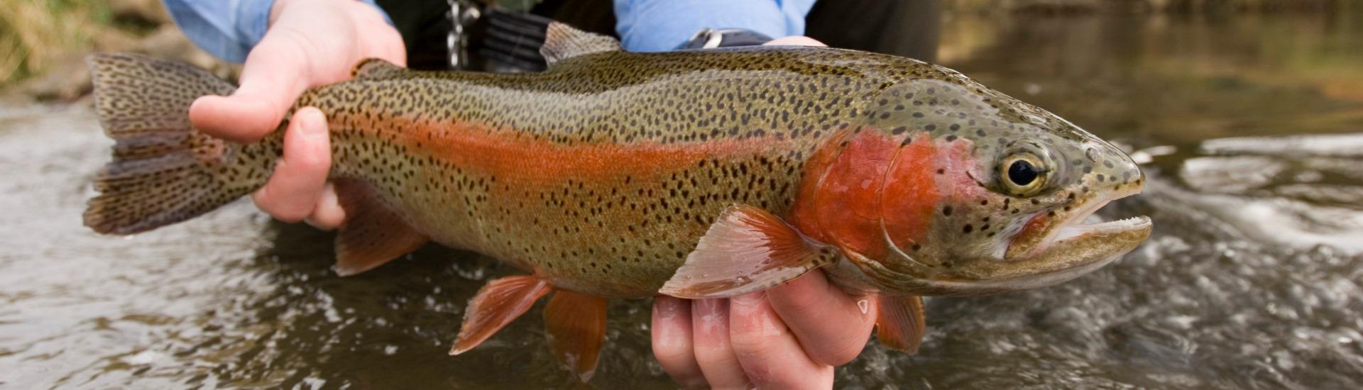 rainbow trout fish