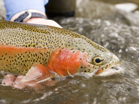 Rainbow Trout Nittany Lion Inn Fly Fishing Package